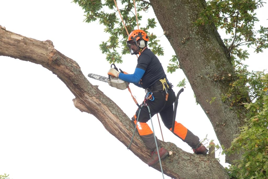 Tree surgeon up a tree with chainsaw